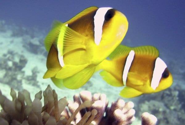 Clownfish  c882e2d1d