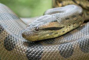 AnacondaSnake