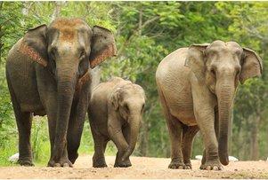 Asian-Elephant-