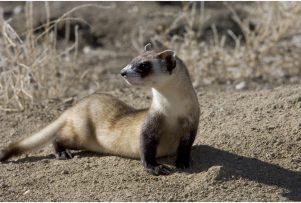 Black-Footed-Ferret