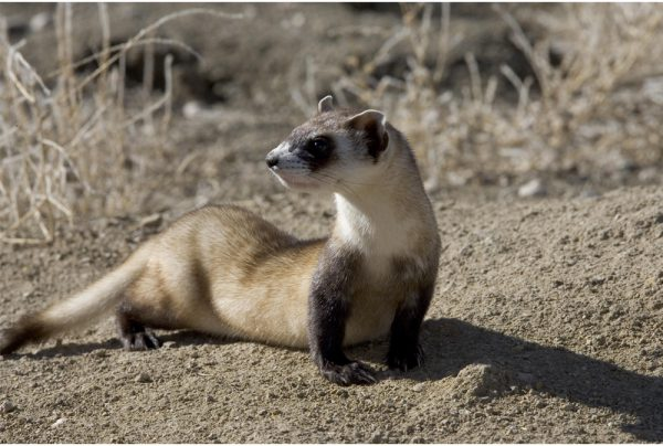 Black-Footed-Ferret
