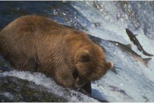 Brown-Bear