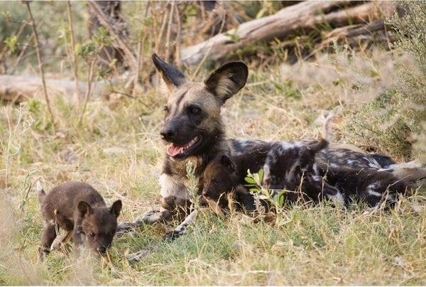 African Wild Dog Wild Republic