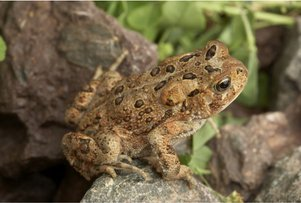 american-toad-