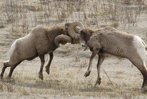 big-horned-sheep