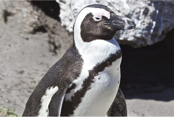 black-footed-penguin