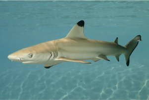 black-tipped-shark