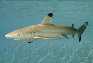 black-tipped-shark