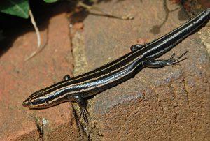 five-lined-skink-lizard