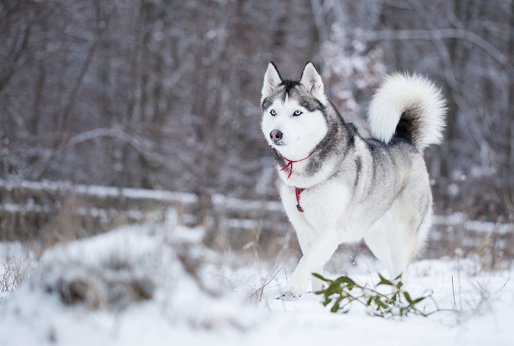 Siberian Husky | Wild Republic