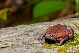 Eastern-Narrowmouthd-Toad-