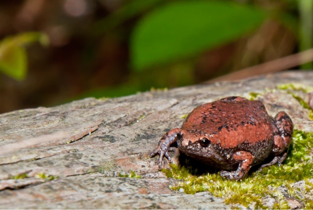 Eastern-Narrowmouthd-Toad-