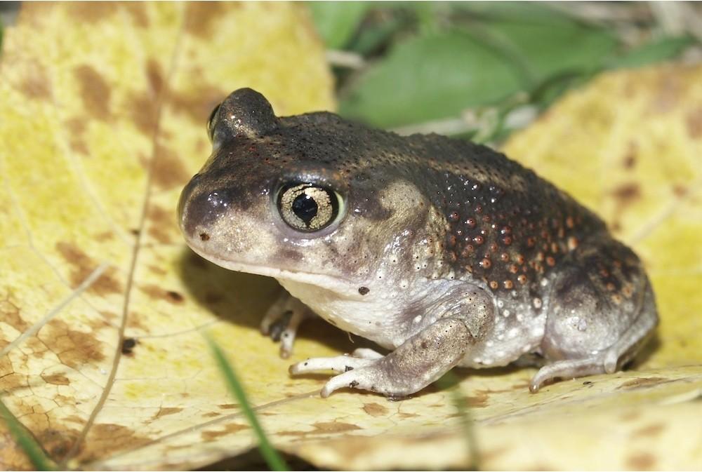 Eastern-spadefoot-Toad