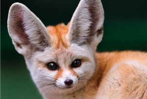 Fennec-Fox-Face