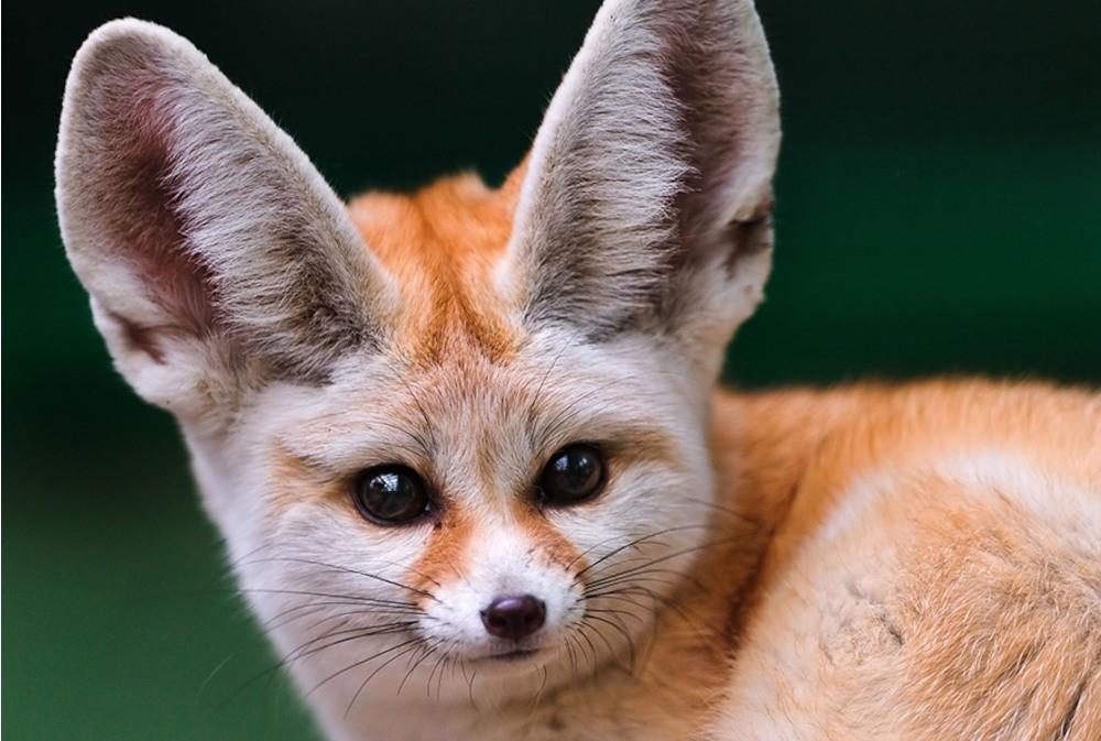 Fennec-Fox-Face