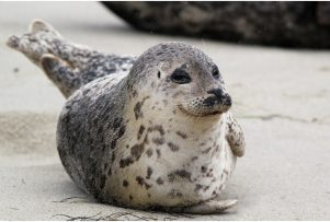 Harbor-Seal-xl