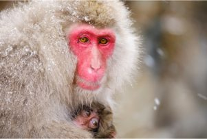 Japanese-Macaque