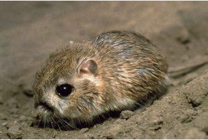 Kangaroo-Rat-