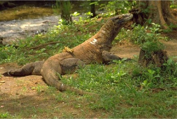 Komodo Dragon Wild Republic