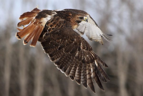 Red Tailed Hawk Wild Republic