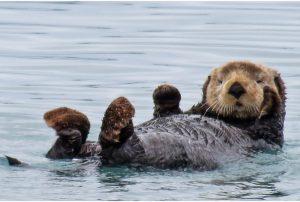 Sea-Otter-xl