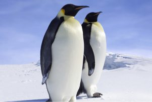 emperor-penguin
