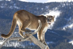 mountain-lion