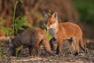 red-fox-
