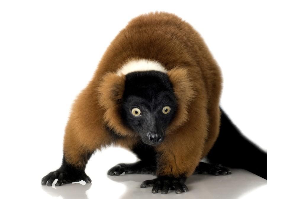 red-furred-lemur