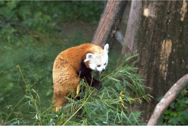 498c4346a857 Red Panda | Wild Republic