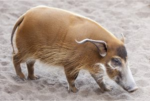 red-river-hog