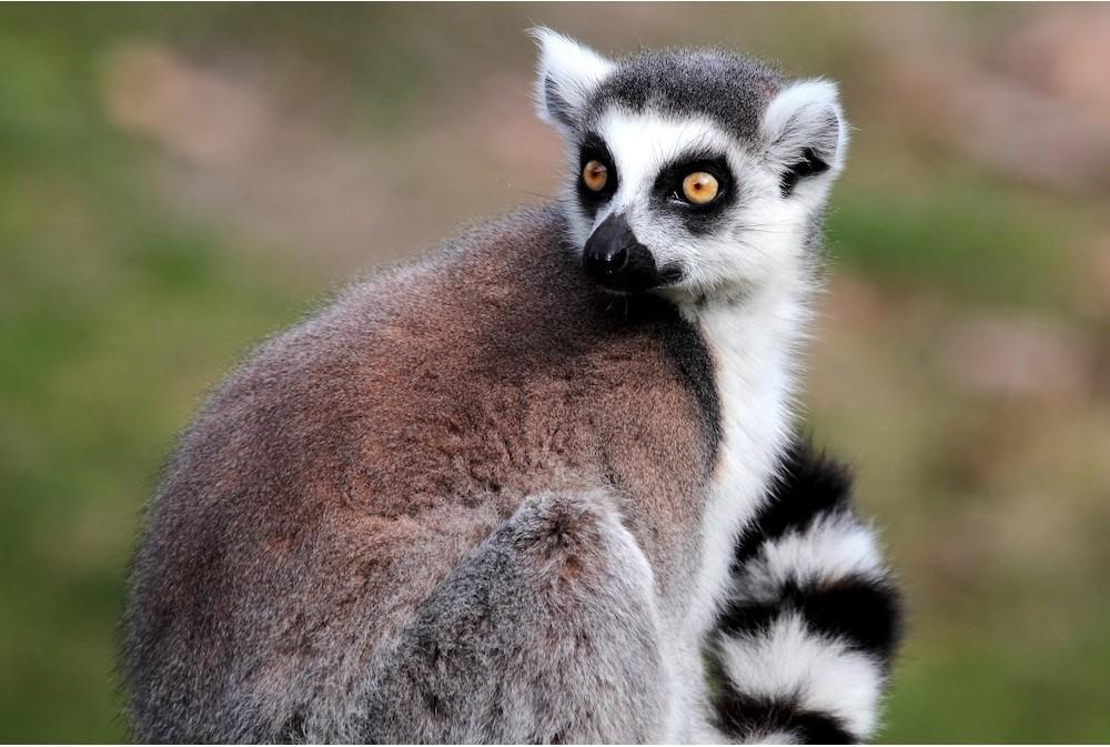 ringtailed-lemur