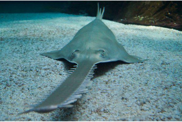 sawfish-on-ground