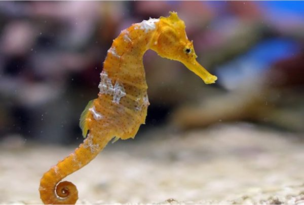 seahorse-2-2297-xl-600x404.jpg