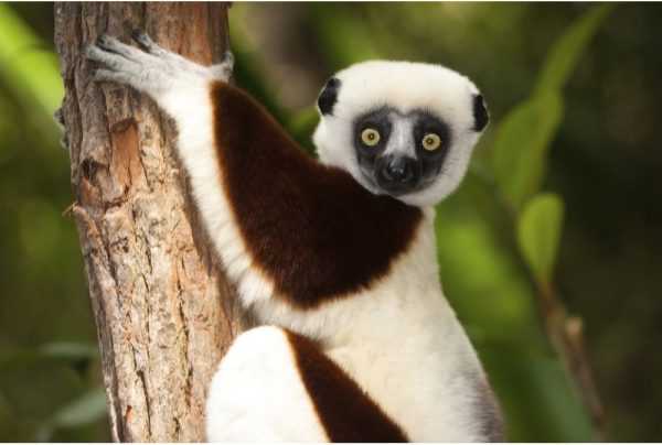 Image result for Sifaka