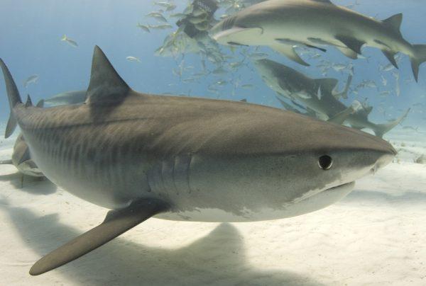 Tiger Shark | Wild Republic