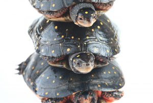 spotted-turtles
