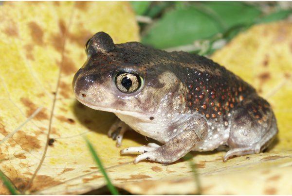 Spadefoot-Toad