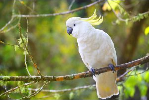 Sulphur-Created-Cockatoo-xl