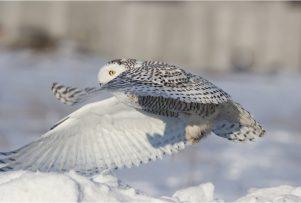 snowy-owl