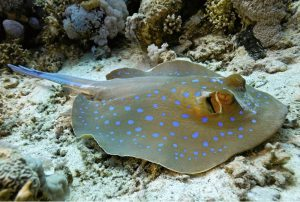 spotted-stingray